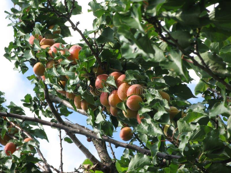 Aprikosen auf einem Baum stockfoto