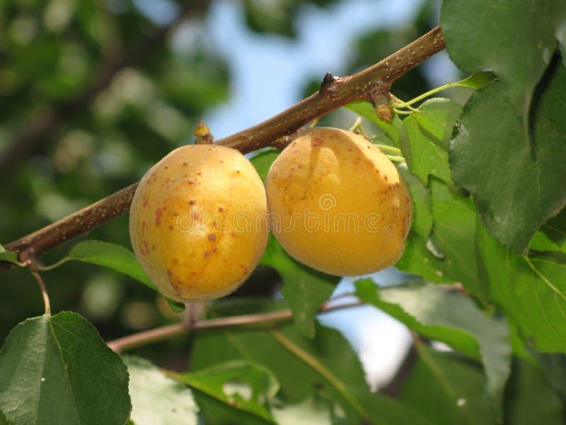 Aprikosen auf einem Baum lizenzfreies stockfoto