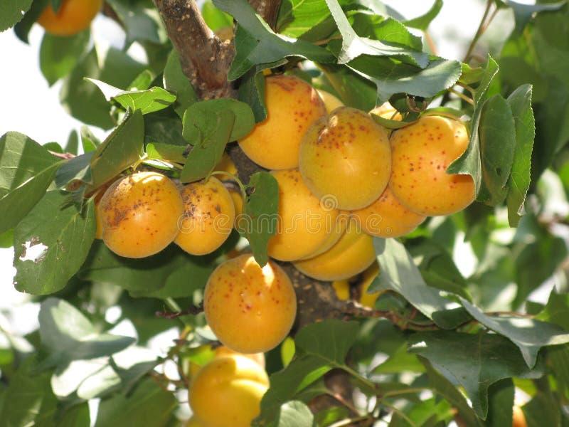Aprikosen auf einem Baum lizenzfreie stockfotografie