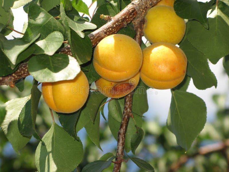 Aprikosen auf einem Baum stockbilder