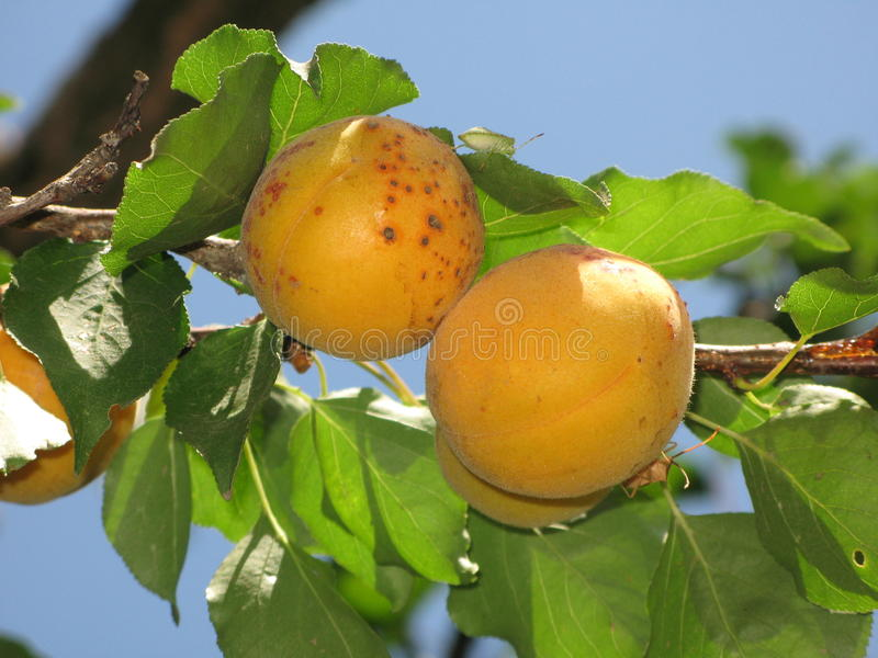 Aprikosen auf einem Baum stockfotos
