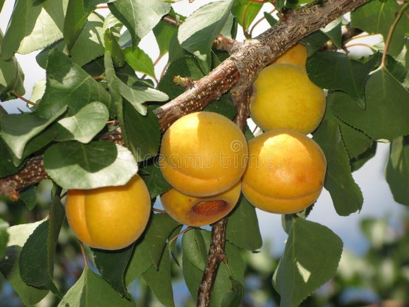 Aprikosen auf einem Baum lizenzfreies stockbild