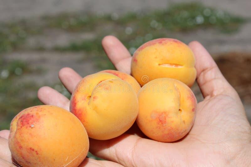 Aprikosen in den Händen lizenzfreie stockfotografie