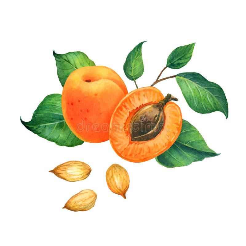 Aprikosenaquarellillustration lizenzfreies stockfoto