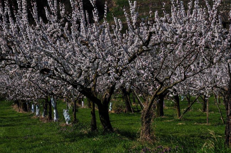 Aprikosenbäume während der Frühlingszeit in Wachau, Österreich stockbilder