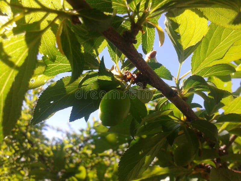 Aprikosenbaum stockbilder