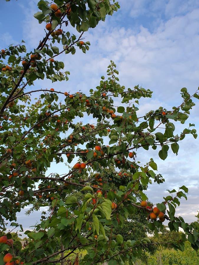 Aprikosenbaum im Garten lizenzfreies stockfoto