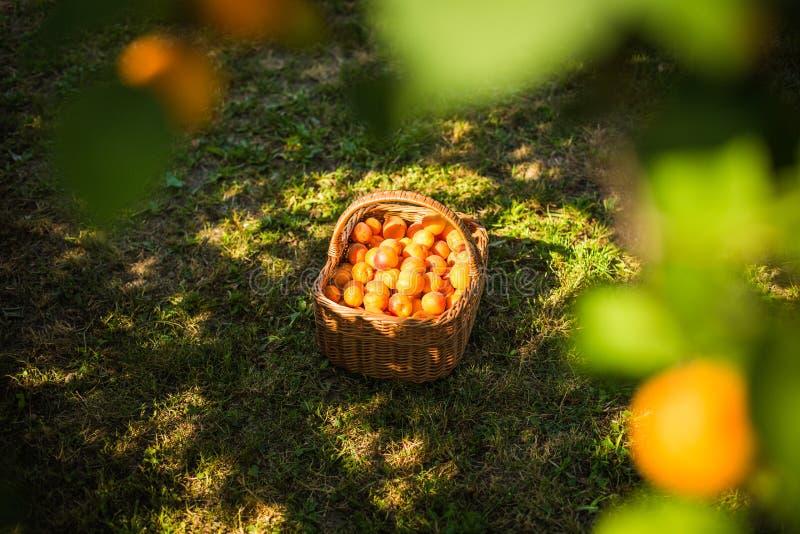 Aprikosenbaum mit dem Fruchtwachsen lizenzfreie stockbilder