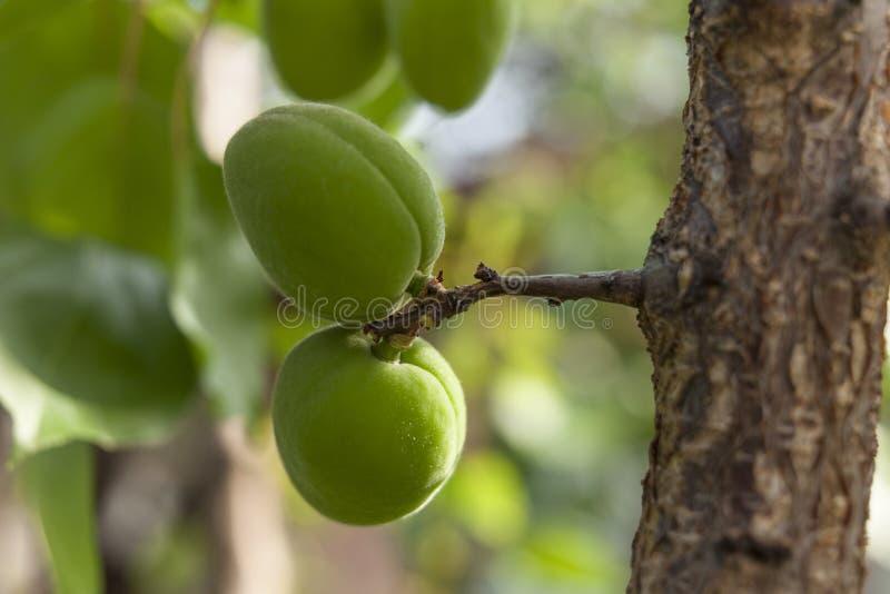 Aprikosenbaum mit dem unausgereiften Fruchtwachsen im Garten lizenzfreies stockfoto