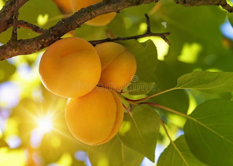 Aprikosenbaum mit Früchten lizenzfreies stockbild
