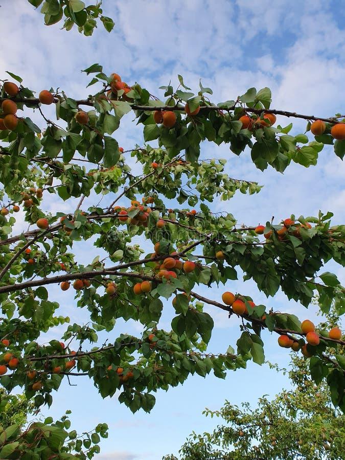 Aprikosenbaumbrunch lizenzfreie stockfotografie
