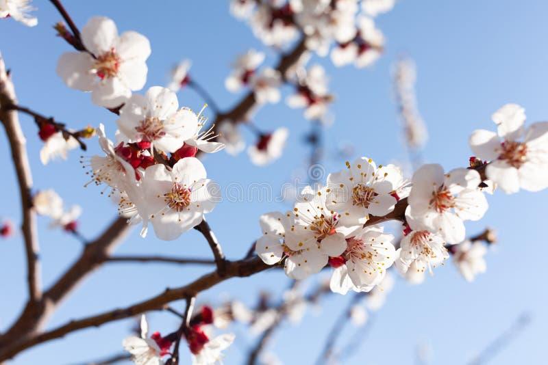 Aprikosenblüte lizenzfreies stockfoto