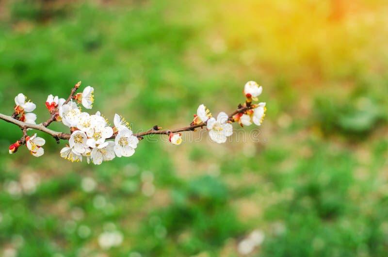 Aprikosenblüte an einem sonnigen Tag, die Ankunft des Frühlinges, das Blühen von Bäumen, Knospen auf einem Baum, natürliche Tapet lizenzfreie stockbilder
