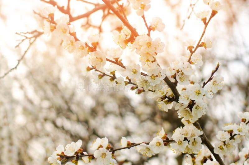 Aprikosenblüte an einem sonnigen Tag, die Ankunft des Frühlinges, das Blühen von Bäumen, Knospen auf einem Baum, natürliche Tapet stockbild