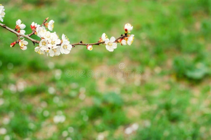 Aprikosenblüte an einem sonnigen Tag, die Ankunft des Frühlinges, das Blühen von Bäumen, Knospen auf einem Baum, natürliche Tapet stockfotografie