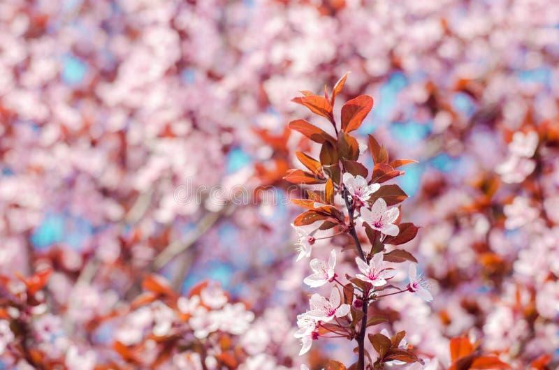 Aprikosenblüte an einem sonnigen Tag, die Ankunft des Frühlinges, das Blühen von Bäumen, rosa Knospen auf einem Baum, natürliche  stockbilder