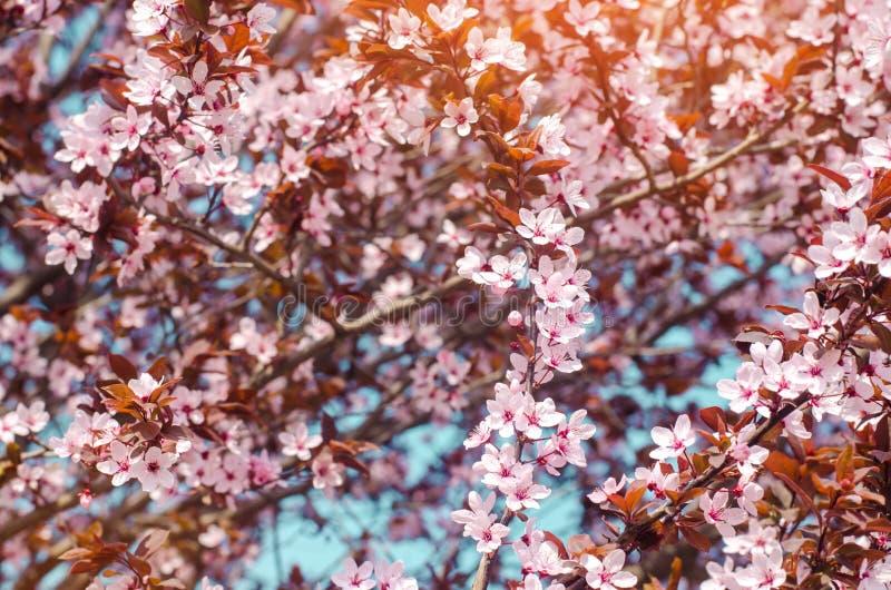 Aprikosenblüte an einem sonnigen Tag, die Ankunft des Frühlinges, das Blühen von Bäumen, rosa Knospen auf einem Baum, natürliche  stockfotografie