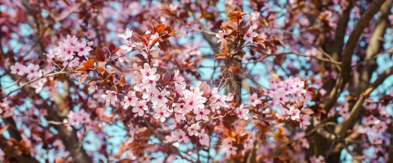 Aprikosenblüte an einem sonnigen Tag, die Ankunft des Frühlinges, das Blühen von Bäumen, rosa Knospen auf einem Baum, natürliche  lizenzfreies stockfoto
