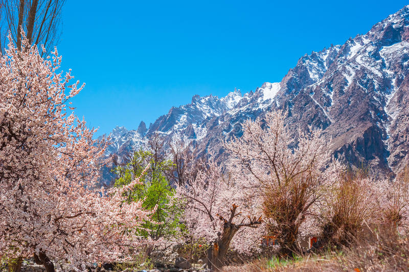 Aprikosenblüte in Pakistan stockfoto
