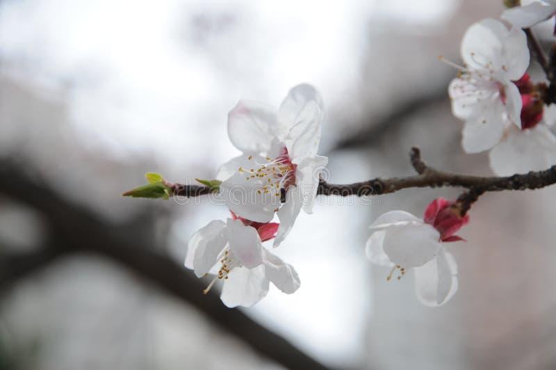 Aprikosenblume lizenzfreies stockfoto