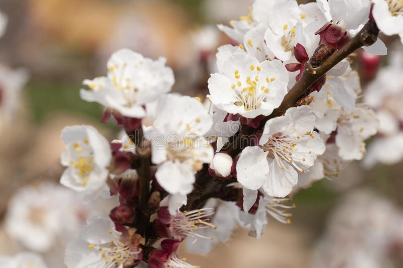 Aprikosenblume auf der Niederlassung lizenzfreies stockfoto
