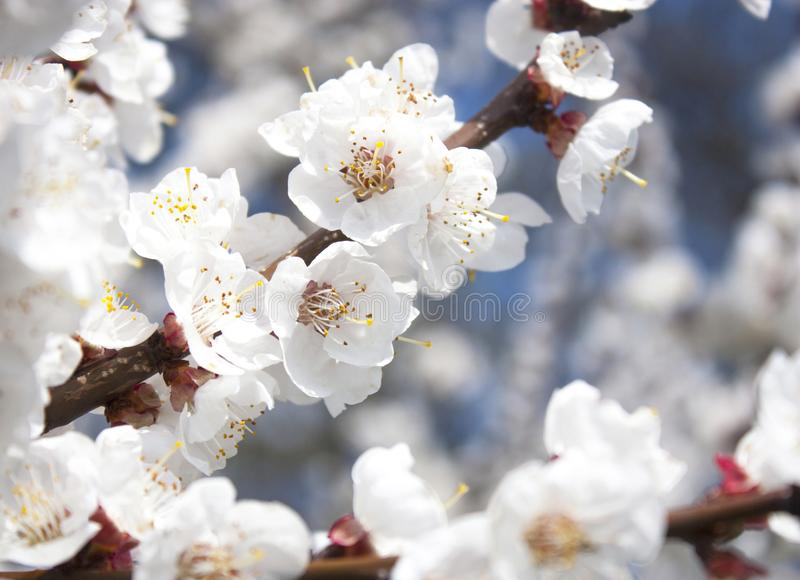Aprikosenblumen lizenzfreies stockbild