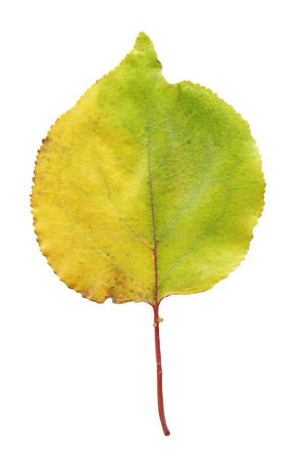 Aprikosenherbst-Baumblatt lokalisiert über Weiß lizenzfreie stockfotografie