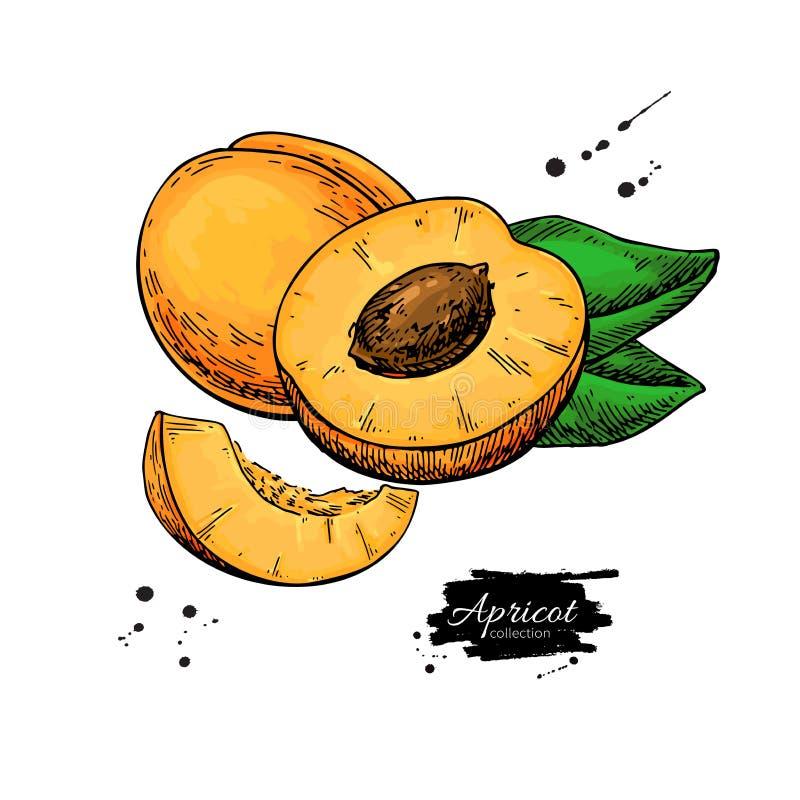 Aprikosenvektorzeichnung Hand gezeichnete Frucht und geschnittene Stücke Sommerlebensmittelillustration stock abbildung