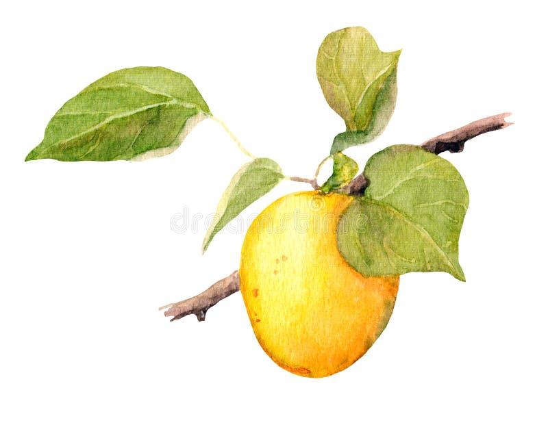 Aprikosfruktfilial, vattenfärgillustration royaltyfri illustrationer