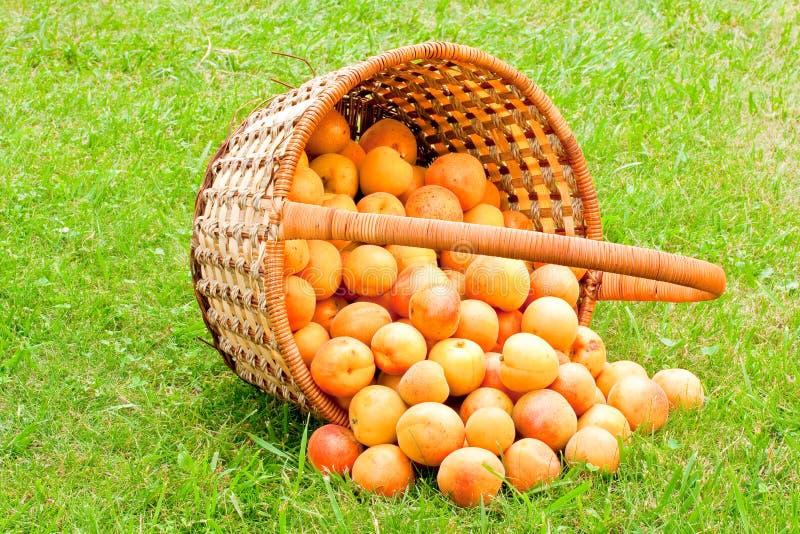 aprikoskorg arkivfoton