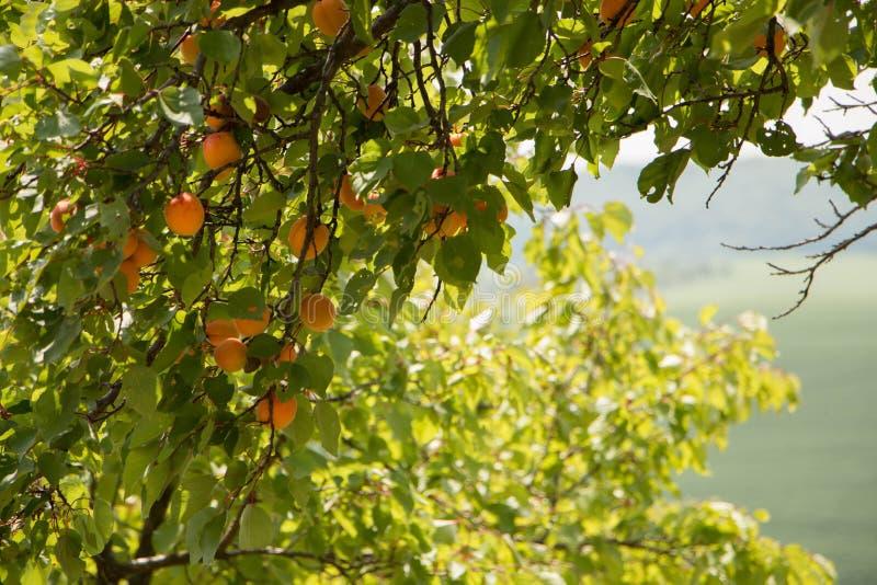 Aprikosträd fotografering för bildbyråer