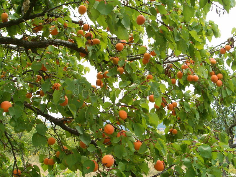 Aprikosträd royaltyfria bilder