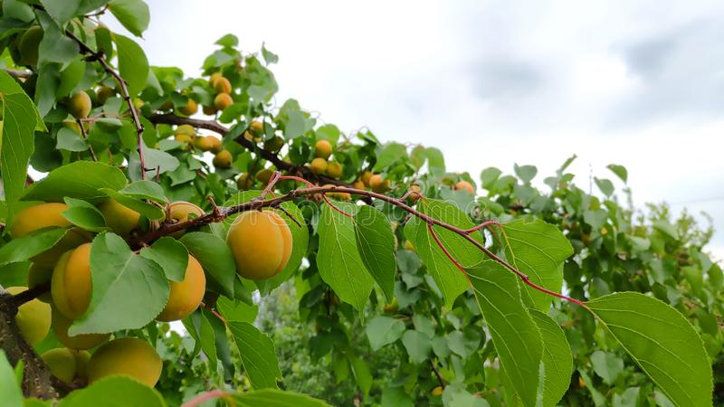 Aprikosträdfilial med saftiga frukter med himmel på bakgrund royaltyfri fotografi