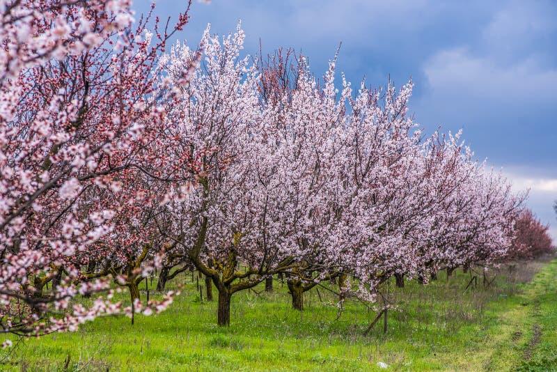 Aprikosträdgård i blom royaltyfri fotografi