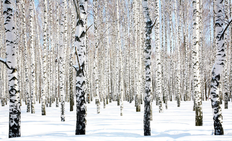 Download April Birch Grove Royalty Free Stock Photo - Image: 25468795