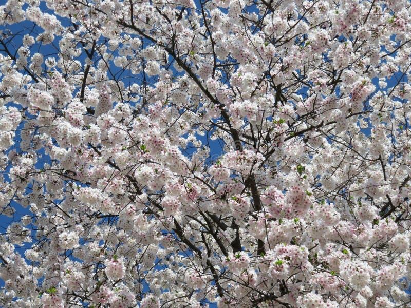 April Cherry Blossom Bloom adiantada imagem de stock