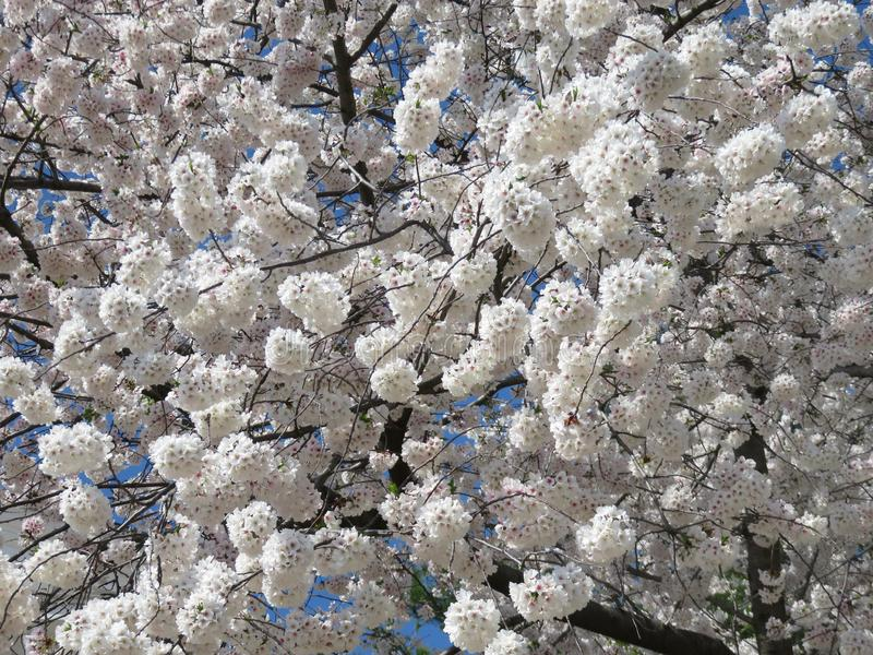April Fluffy Cherry Blossom Bloom adiantada imagens de stock royalty free