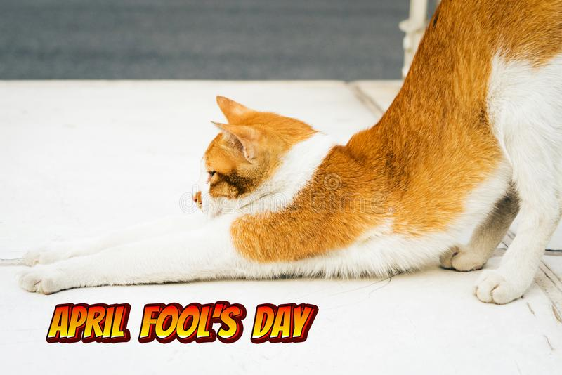 April Fools Day, portret van yoga wit-lichte bruine kat royalty-vrije stock afbeelding