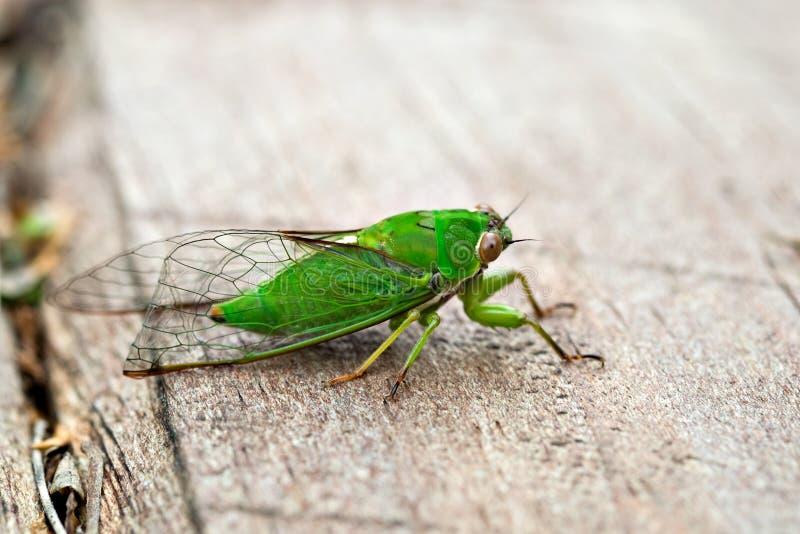 April grünen Zikade (Kikihia-ochrina), Neuseeland-Zikade lizenzfreie stockbilder