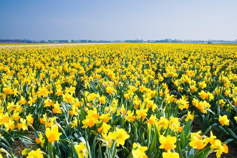 april påskliljar field yellow royaltyfri foto
