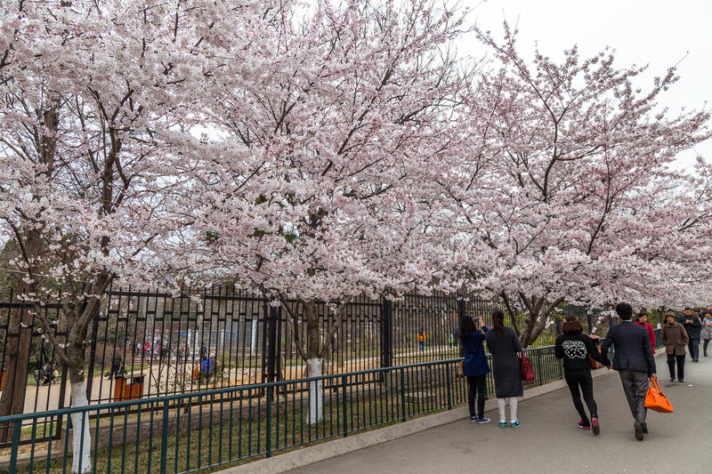April 2015 - Qingdao, China - Cherry Blossoms festival in Zhongshan Park royalty free stock images