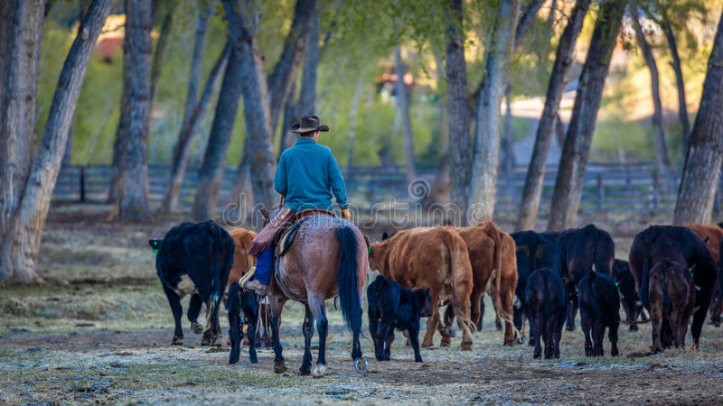 APRIL 22, 2017, RIDGWAY COLORADO: Cowboyen samlas nötkreatur på den hundraårs- ranchen, Ridgway, Colorado - en nötkreaturranch so arkivfoto