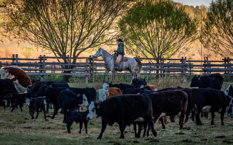 APRIL 22, 2017, RIDGWAY COLORADO: Cowboyen samlas nötkreatur på den hundraårs- ranchen, Ridgway, Colorado - en nötkreaturranch so royaltyfri fotografi