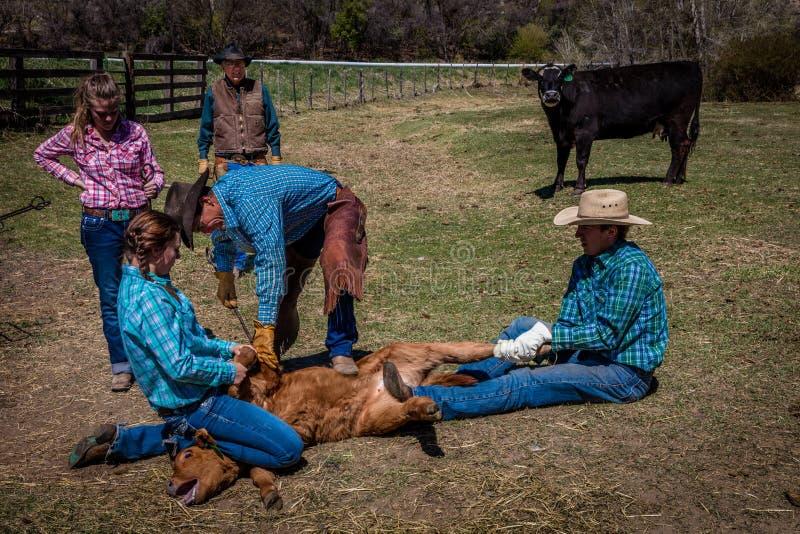22 APRIL, 2017, RIDGWAY COLORADO: De honderdjarige Boerderijeigenaar Vincew Kotny bekijkt Cowboy het brandmerken vee op Honderdja stock fotografie