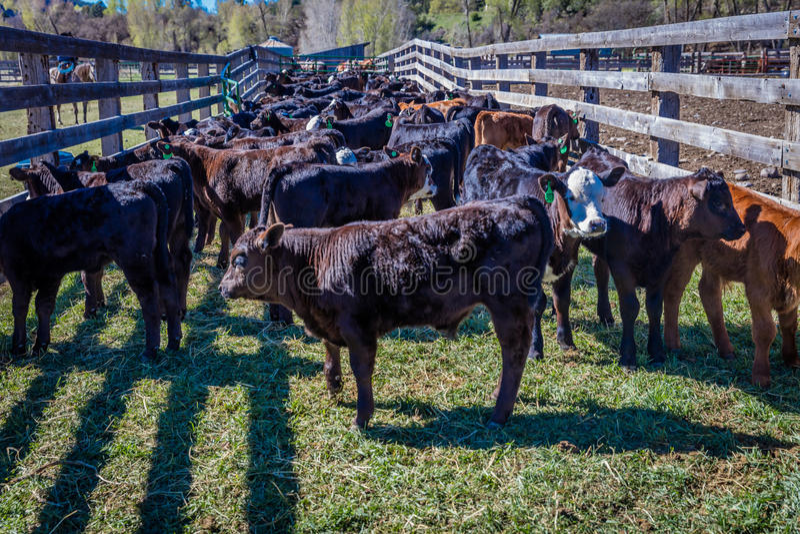 22 APRIL, 2017, RIDGWAY COLORADO: Kalft wachtend vee op het brandmerken op Honderdjarige Boerderij, Ridgway, Colorado - een boerd royalty-vrije stock foto