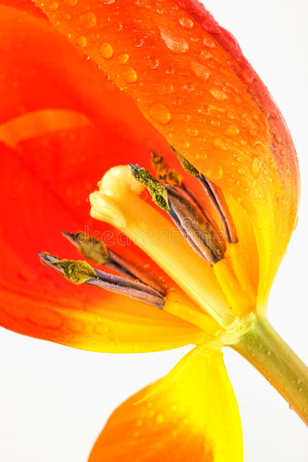 Download April Tulip stock image. Image of green, flower, easter - 13700453