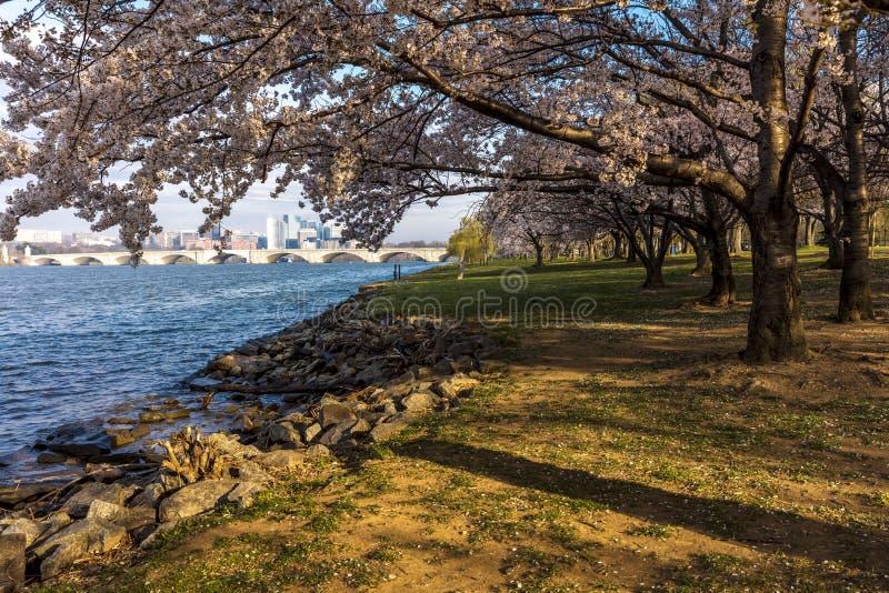 10. APRIL 2018 - WASHINGTON D C - US Cherry Blossoms zu Hains-Punkt, Gezeiten- Ostbecken Washington Amerikaner, Haines stockfotografie