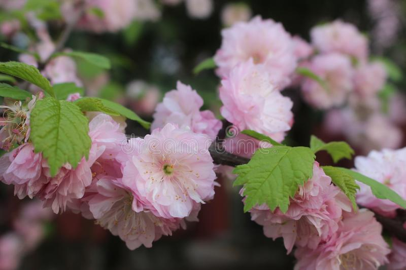 April cherry blossoms. April in Xi`an is the season of cherry blossoms. Campus and parks can be seen everywhere. They are lovely royalty free stock photography