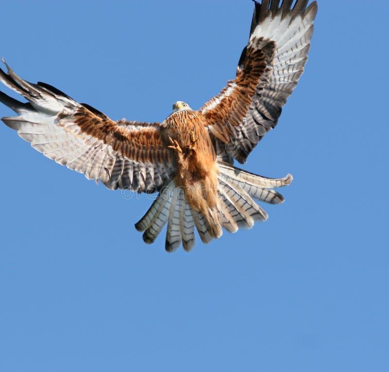 Aproximação da águia foto de stock royalty free