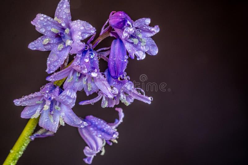 Aproximação de orelhas cobertas de bluebells imagens de stock royalty free